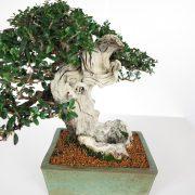 acheter shohin bonsai - 100