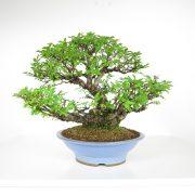 acheter shohin bonsai - 101
