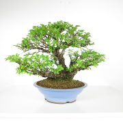 acheter shohin bonsai - 102