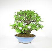 acheter shohin bonsai - 103