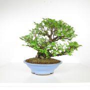 acheter shohin bonsai - 104