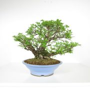 acheter shohin bonsai - 105