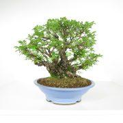 acheter shohin bonsai - 106