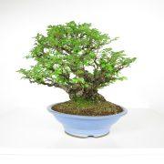 acheter shohin bonsai - 107