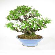 acheter shohin bonsai - 108