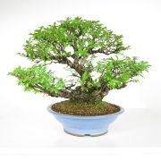 acheter shohin bonsai - 109