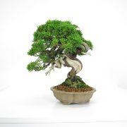 acheter shohin bonsai - 18