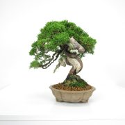 acheter shohin bonsai - 19