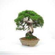 acheter shohin bonsai - 20