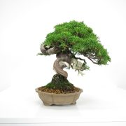 acheter shohin bonsai - 21