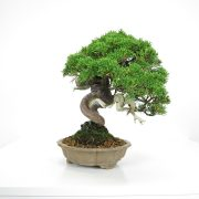 acheter shohin bonsai - 22
