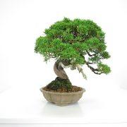 acheter shohin bonsai - 23