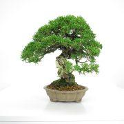 acheter shohin bonsai - 24
