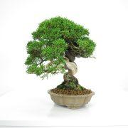 acheter shohin bonsai - 25