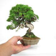 acheter shohin bonsai - 26
