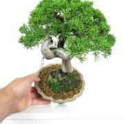 acheter shohin bonsai - 27