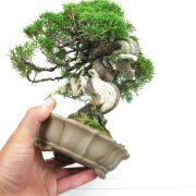 acheter shohin bonsai - 28