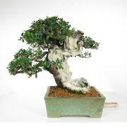 acheter shohin bonsai - 87