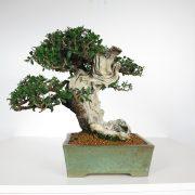acheter shohin bonsai - 88