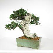 acheter shohin bonsai - 89