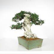 acheter shohin bonsai - 90
