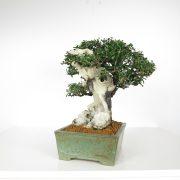 acheter shohin bonsai - 91