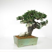 acheter shohin bonsai - 92