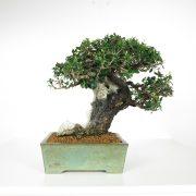 acheter shohin bonsai - 93