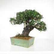 acheter shohin bonsai - 94