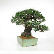 acheter shohin bonsai - 95
