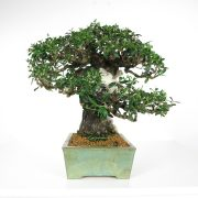 acheter shohin bonsai - 96