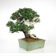 acheter shohin bonsai - 97