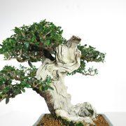 acheter shohin bonsai - 99