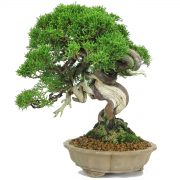 juniperus itoigawa bonsai