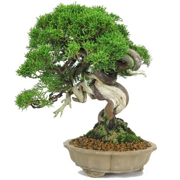 juniperus itoigawa bonsai