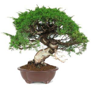 kifu juniperus itoigawa