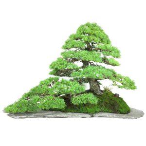 pinus pentaphyla bonsai
