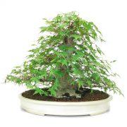 acer palmatum kifu