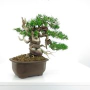 achat vente shohin bonsai 001