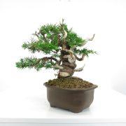 achat vente shohin bonsai 003
