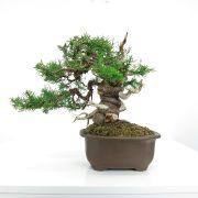 achat vente shohin bonsai 004