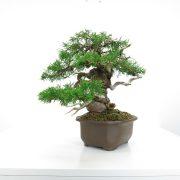 achat vente shohin bonsai 005