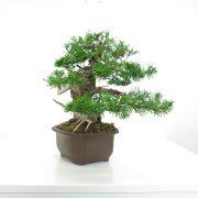 achat vente shohin bonsai 006