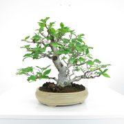 achat vente shohin bonsai 032