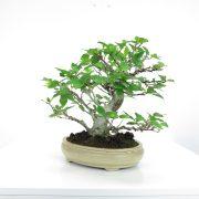 achat vente shohin bonsai 034