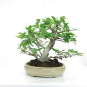 achat vente shohin bonsai 035