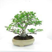 achat vente shohin bonsai 036