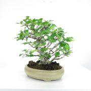 achat vente shohin bonsai 038