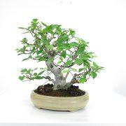 achat vente shohin bonsai 039