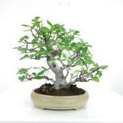 achat vente shohin bonsai 040